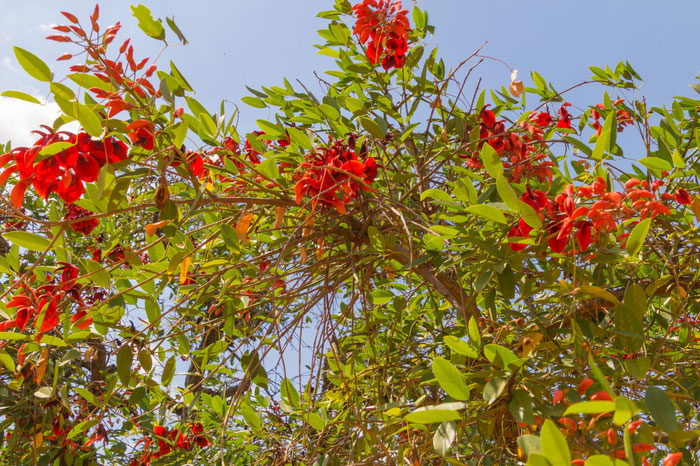 Die Blüte des Ceibo ist Argentiniens Nationalblume.