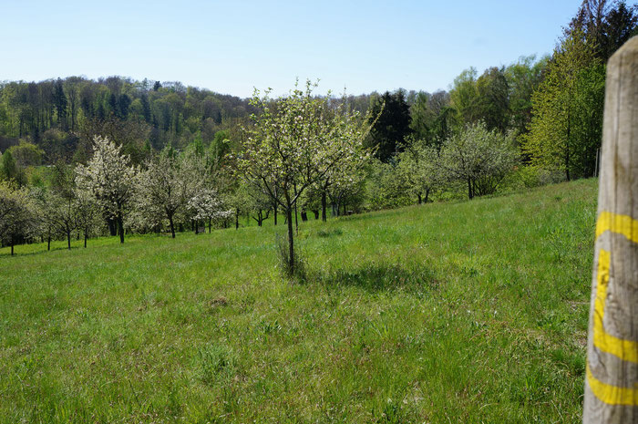 Saftige grüne Wiesen laden zum Picknick ein am Rande des Streuobstwiesenpfades.