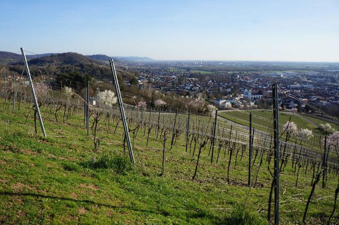 Blick vom Kirchberghäuschen über die Weinberge in Richtung Heidelberg/Rheinebene. (©odenwaldlust)