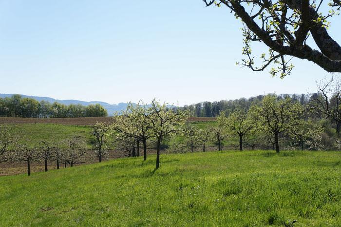 Blick auf den Höhenzug der Tromm vom Lehrpfad Albersbacher Streuobstwiesen