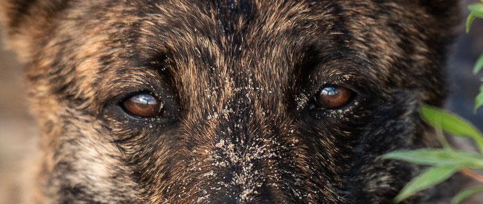 Holländischer Schäferhund Acid eine Menge Herder Zucht aus Gold und Ebenholz