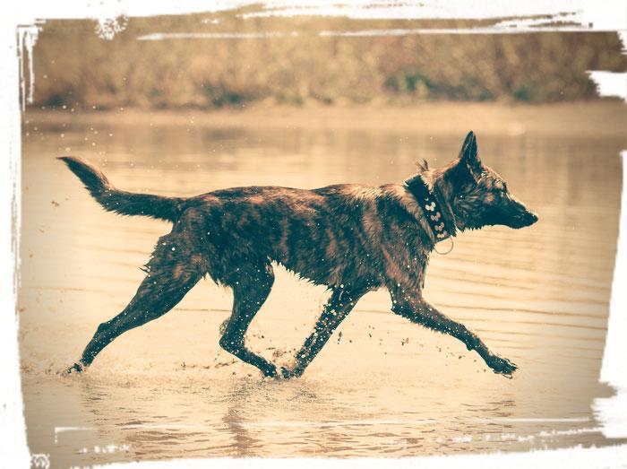 Holländischer Schäferhund Acid eine Menge Herder aus Gold und Ebenholz im Wasser