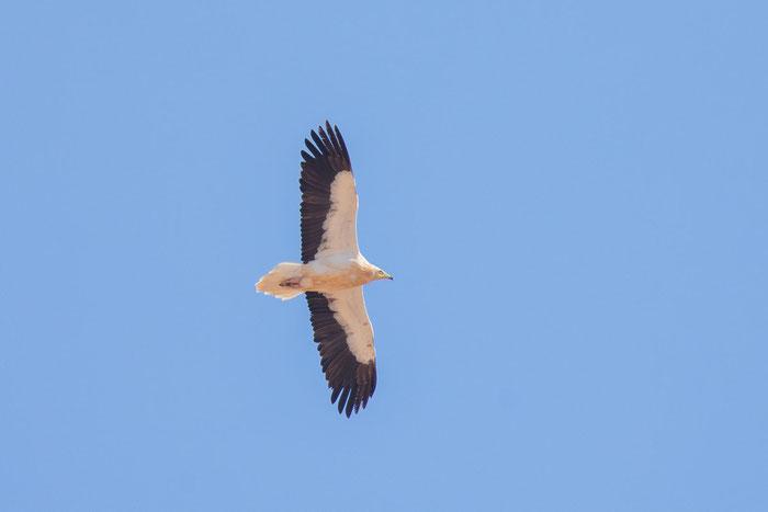 Kanaren-Schmutzgeier (Neophron percnopterus majorensis) über der Mülldeponie von Fuerteventura.