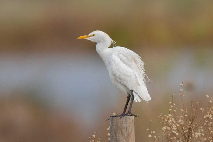 Kuhreiher (Bubulcus ibis) an der portugiesischen Algarve