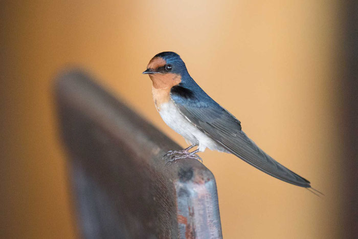 Glücksschwalbe,  Hirundo neoxena, Welcome Swallow, Mareeba Wetlands