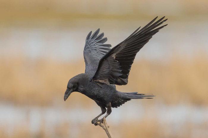 Kolkrabe (Corvus corax) im Saaler Bodden von Mecklenburg-Vorpommern.