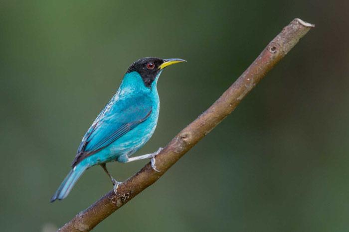 Kappennaschvogel (Chlorophanes spiza) im brasilianischen Küstenregenwald von Ubatuba.