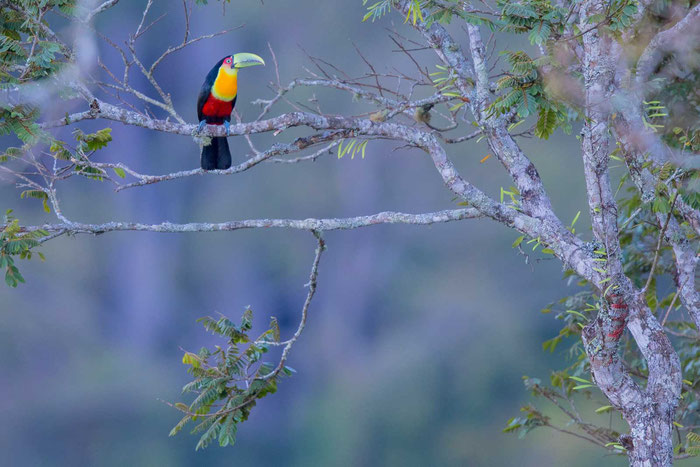 Bunttukan (Ramphastos dicolor)  im Garten des Hotel Do Ype im brasilianischen Nationalpark Itatiaia.