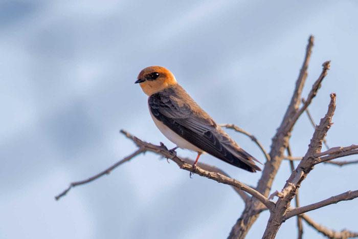 Fuchsschwalbe, Alopochelidon fucata, Tawny-headed Swallow