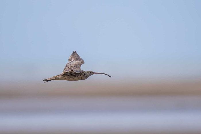 Isabellbrachvogel  (Far Eastern curlew), an der Küste des australischen Cairns.