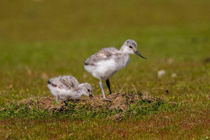 Junge Säbelschnäbler (Recurvirostra avosetta) im  Katinger Watt.