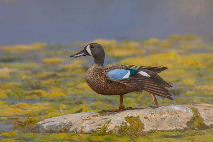 Männliche Blauflügelente an einem See in manitoba/Kanada