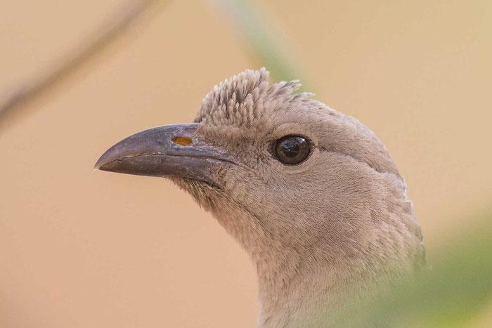 Graulaubenvogel ( Chlamydera nuchalis)  auf dem Campingplatz des Nitmiluk-Nationalpark von Australien.