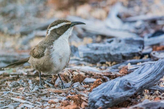 Brauensäbler (Pomatostomus superciliosus) im im Australian Arid Lands Botanic Garden von Port Augusta.