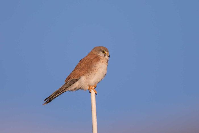 Graubartfalke (Falco cenchroides) im Australian Arid Lands Botanic Garden von Port Augusta.