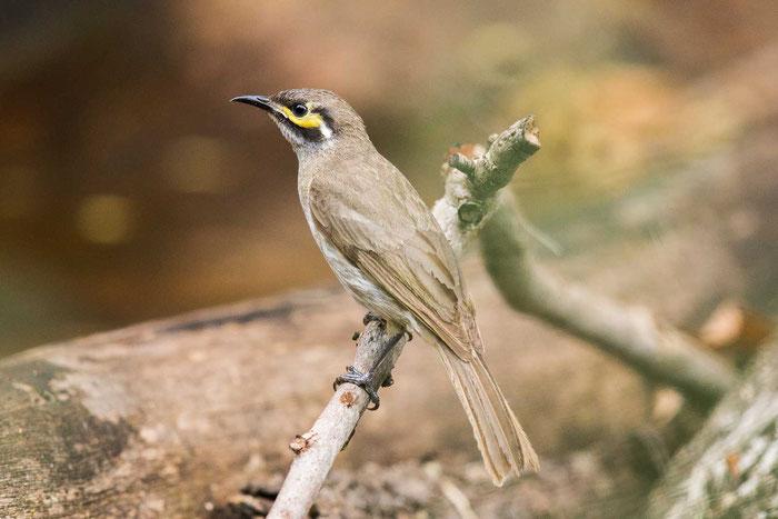 Dreistreifen-Honigfresser (Caligavis chrysops) auf dem Geländer der Kingfisher Park Birdwatchers Lodge.