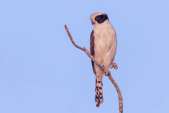 Lachfalke (Herpetotheres cachinnans) an der brasilianischen Transpantaneira.