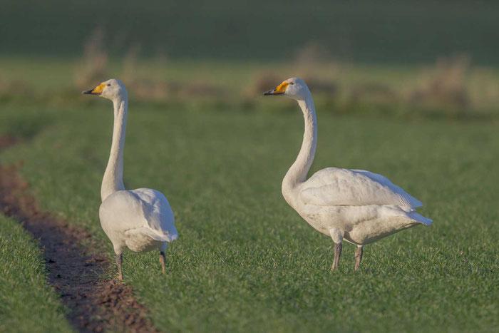 Singschwan, Cygnus cygnus, Whooper Swan
