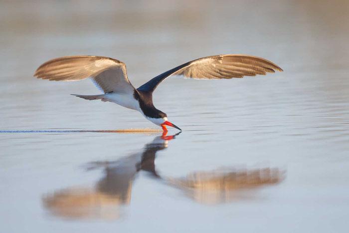 """Schwarzmantel-Scherenschnabel  (Rynchops niger), beim """"Fischen"""" im brasilianischen Pantanal."""