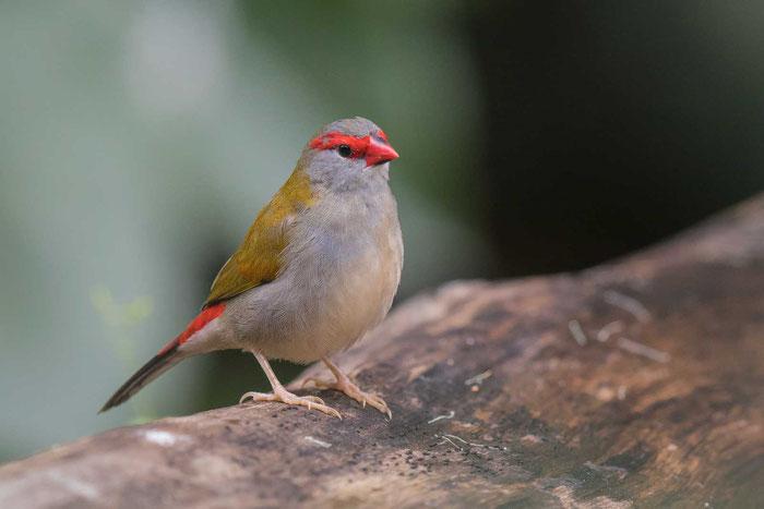 Dornastrild (Neochmia temporalis) auf dem Gelände der Kingfisher Park Birdwatchers Lodge.
