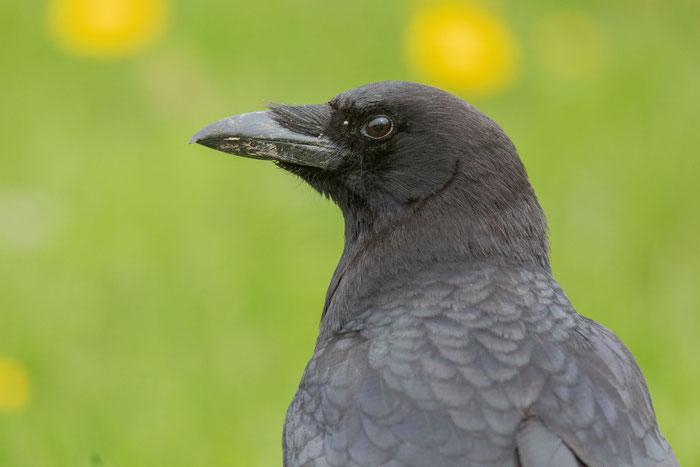 Amerikanerkrähe (Corvus brachyrhynchos)