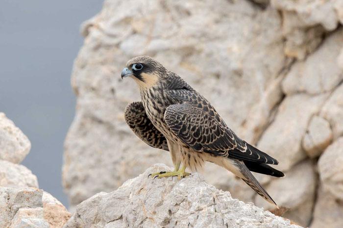 Junger Eleonorenfalke (Falco eleonorae) auf der mallorquinischen Insel Sa Dragonera.