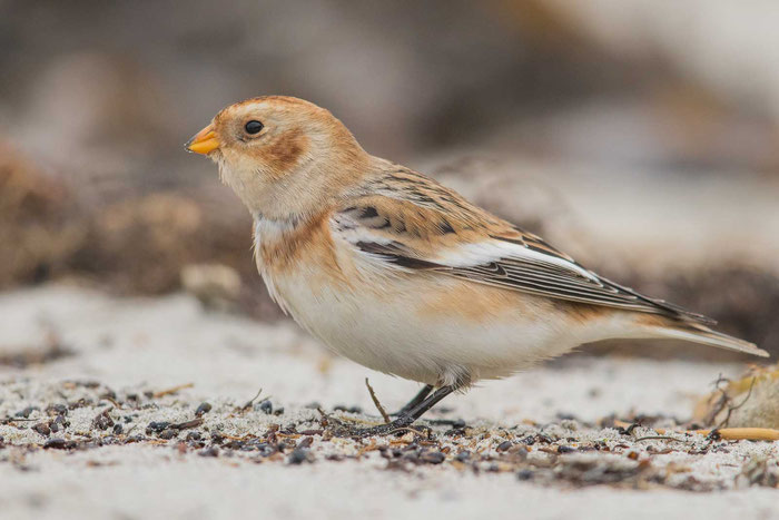Schneeammer (Plectrophenax nivalis) am Nordstrand der Insel Helgolan.