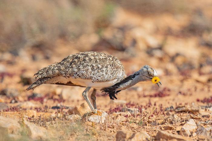 Männliche Kragentrappe (Chlamydotis undulata) auf der Insel Fuerteventura.