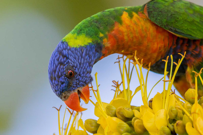 Regenbogenlori (Trichoglossus haematodus) im Bereich der Uferpromenand von Cairns im australischen Queensland.