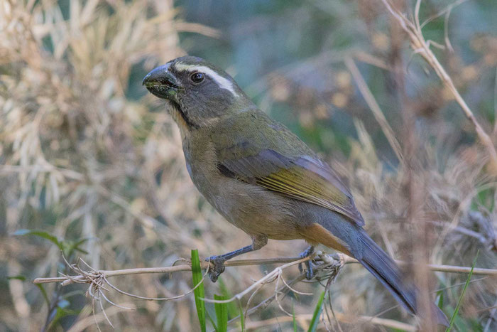 Dickschnabelsaltator (Saltator maxillosus) im brasilianischen Nationalpark von Itatiaia.