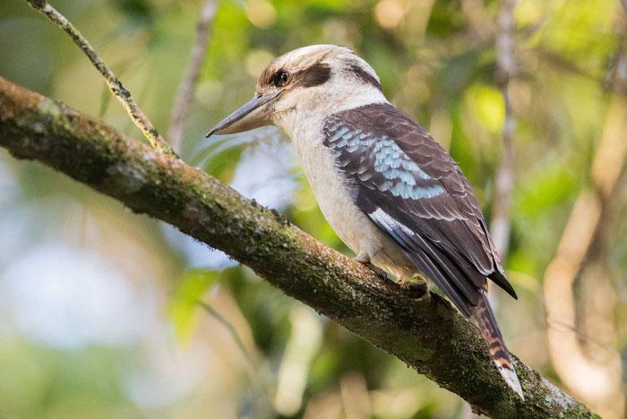 Lachender Hans (Dacelo novaeguineae) auf dem Geländer der Kingfisher Park Birdwatchers Lodge.
