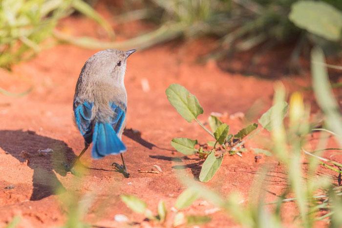 Türkisstaffelschwanz (Malurus splendens) im Übergangskleid im Desert Park von Alice Springs.