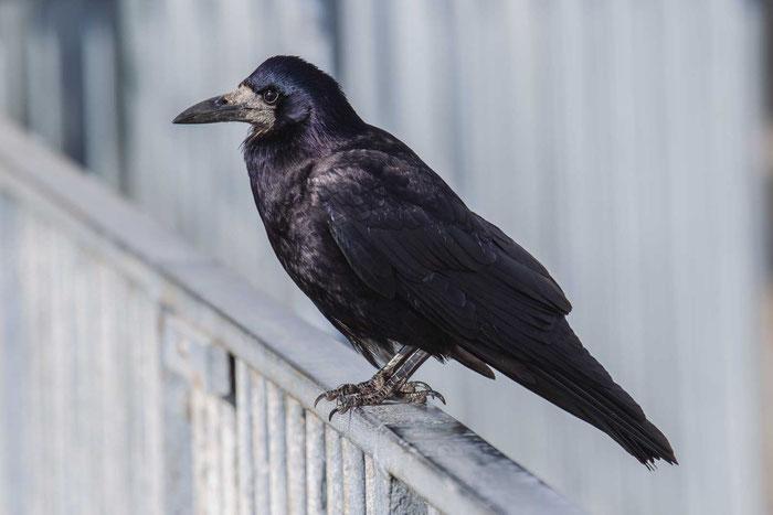 Saatkrähe (Corvus frugilegus) auf der Isle of Wight.
