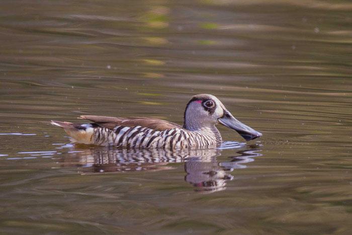 Rosenohrente, Malacorhynchus membranaceus, Pink-eared duck