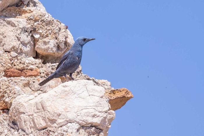 Blaumerle (Monticola solitarius) im Innenhof der Burg Larissa auf der griechischen Halbinsel Peloponnes.