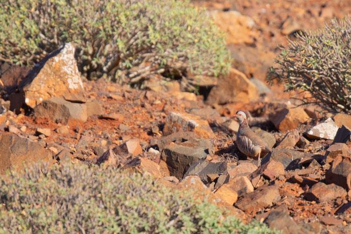 Felsenhuhn (Alectoris barbara) im Parque Rural de Betancuria auf Fuerteventura.