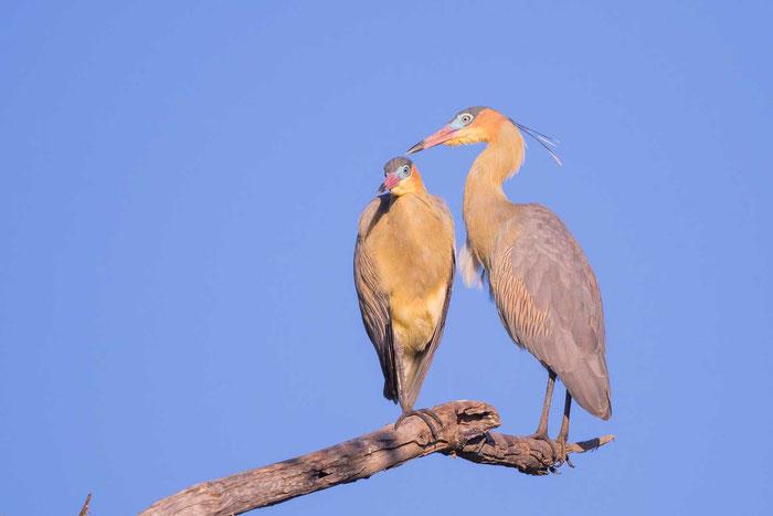 Pfeifreiher (Whistling heron) im brasilianischen Pantanal.