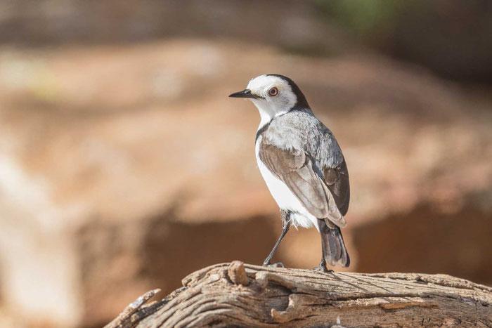 Weißgesicht-Trugschmätzer (Epthianura albifrons) im Australian Arid Lands Botanic Garden von Port Augusta.