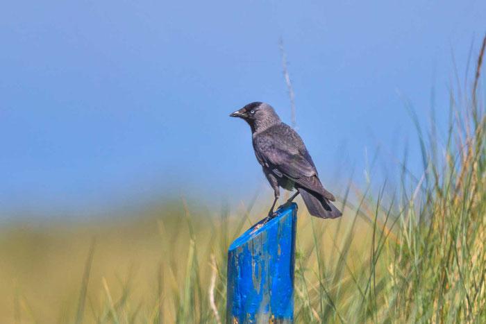 Dohle (Corvus monedula) in den Dünen der holländischen Texel.