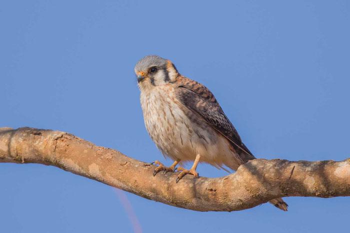 Buntfalke (Falco sparverius) im brasilianischen Serra da Canastra National Park.