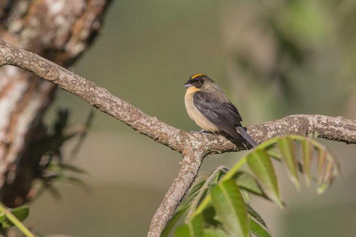 Schwarzgesichttangare (Trichothraupis melanops) auf dem Gelände des Hotel do Ype im Nationalpark von Itatiaia im brasilianischen Küstenregenwald.