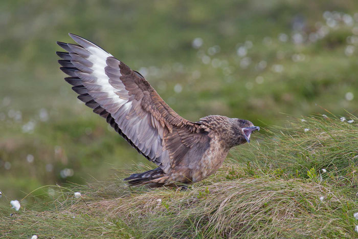 Skua (Stercorarius skua) auf der nowegischen Vogelinsel Runde.