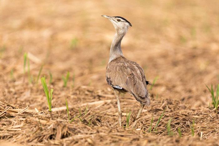 Wammentrappe (Ardeotis australis) in den Mareeba Wetlands von Queensland im Nordosten von Australien.