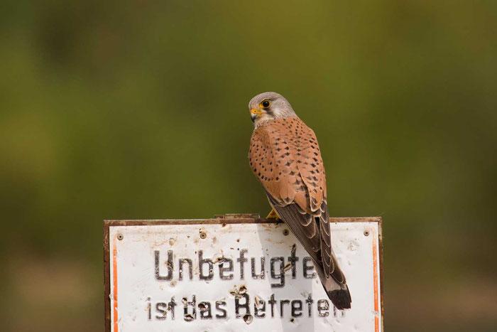 Männlicher Turmfalke (Falco tinnunculus) im marburger Lahntal.