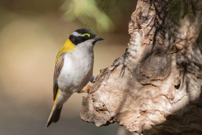 Goldmantel-Honigfresser (Melithreptus laetior) im Desert Park von Alice Springs.