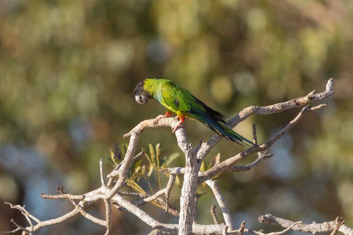 Nandaysittich (Aratinga nenday) im brasilianischen Pantanal.