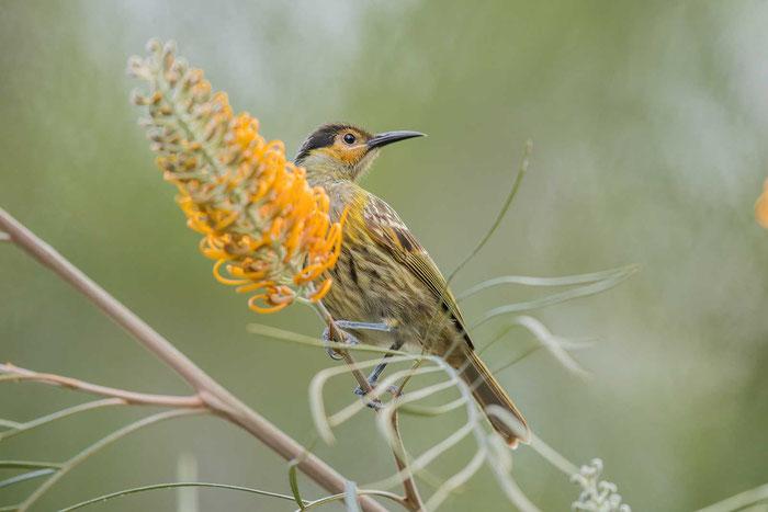 Kappenhonigfresser (Xanthotis macleayanus) auf dem Geländer der Kingfisher Park Birdwatchers Lodge.