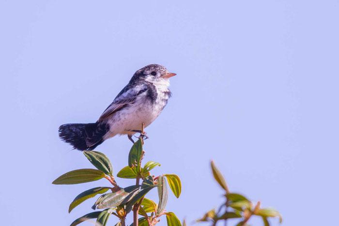 Hahnenschwanztyrann (Alectrurus tricolor) im brasilianischen Serra da Canastra National Park.