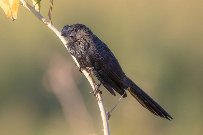 Glattschnabelani; Crotophaga ani; smooth-billed ani