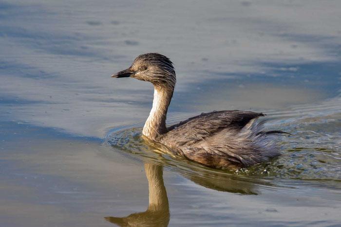 Haarschopftaucher (Poliocephalus poliocephalus) in den Greenfield Wetlands von Südaustralien.